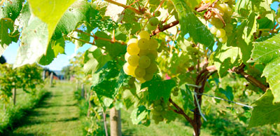 beautiful Whispering Bluffs vineyard photo
